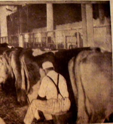 """Broken"" cows standing still while being milked. (Photo source: Kimball's Diary Farmer Magazine, December 15, 1911)"