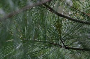 Pine_needles
