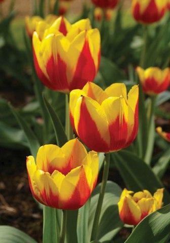 Tulip.Keizerskroon