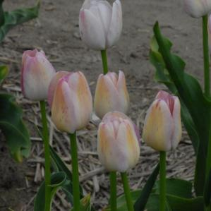 tulip.white.queen