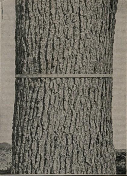white.oak.bark