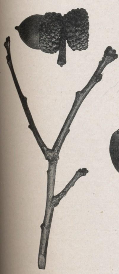 White.oak.twig-1