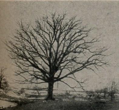 White.oak