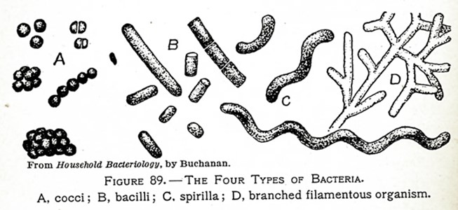 Line drawing of bacteria