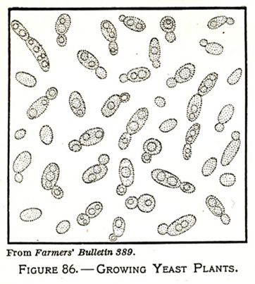 Line drawing of yeast